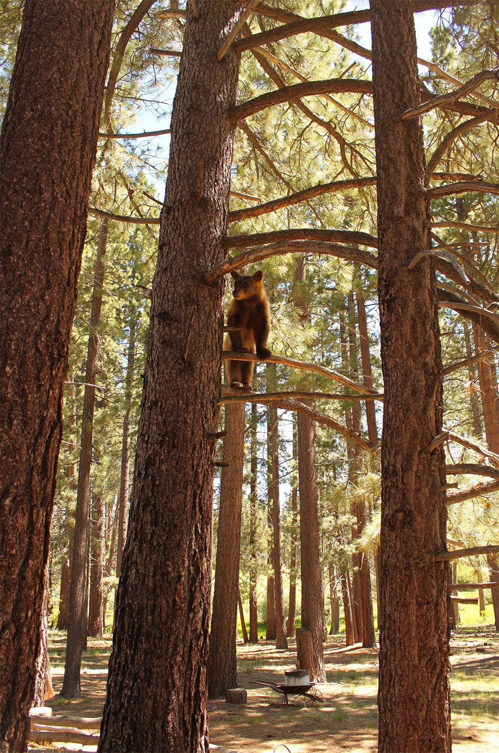 Lake Tahoe Bear in tree