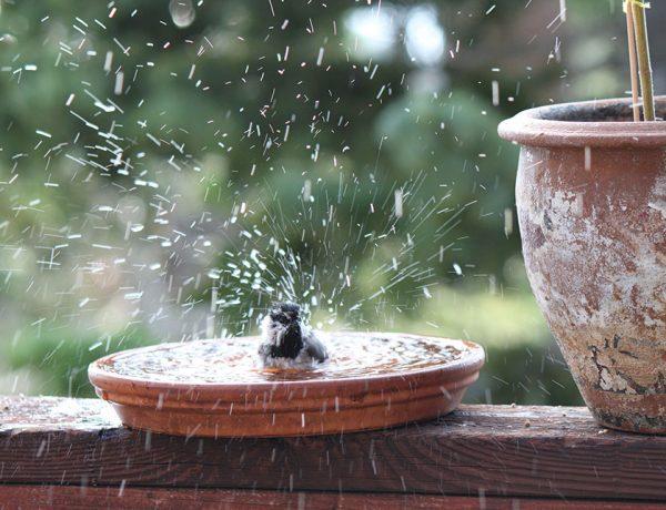 Mountain Chickadee bird bath