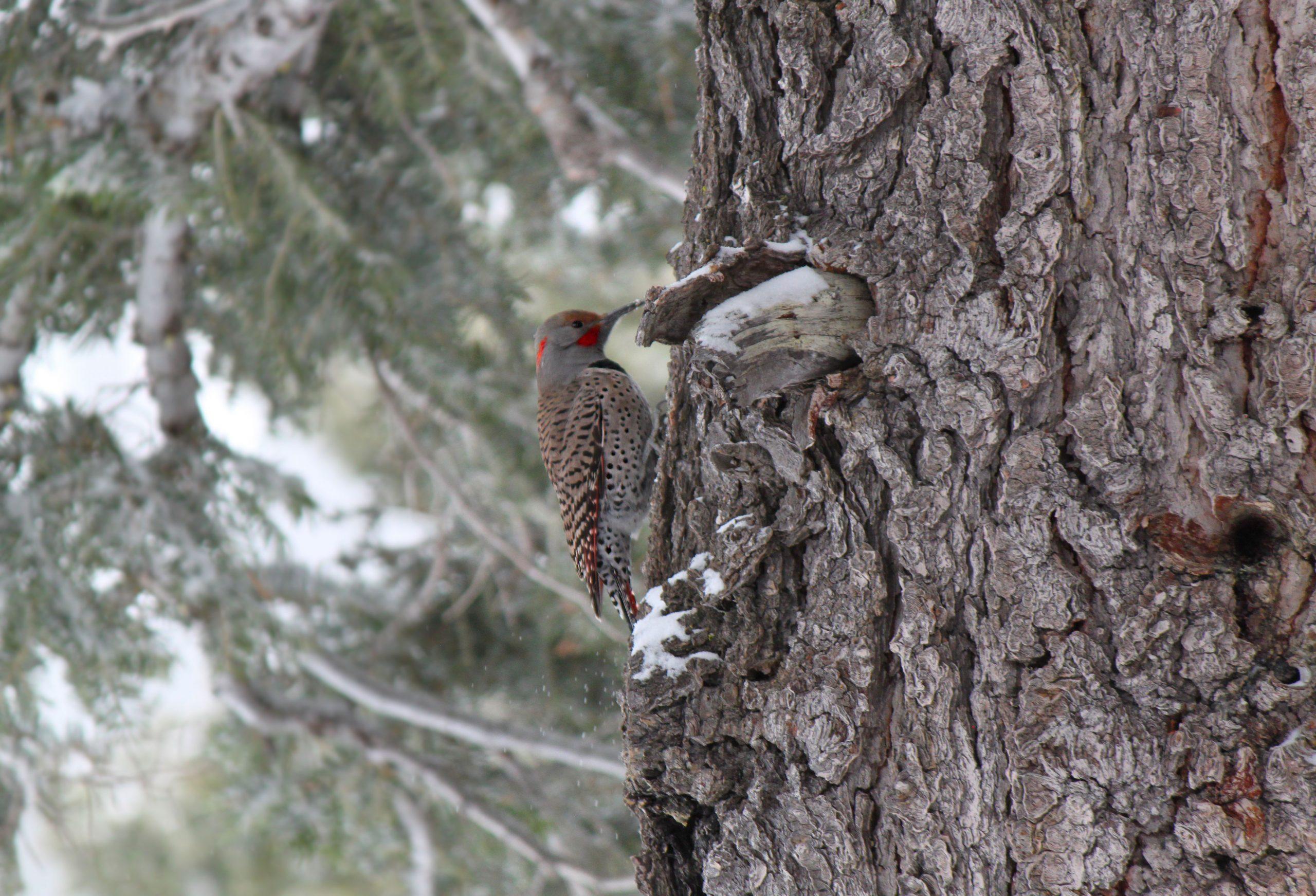 Northern Flicker woodpecker in winter 2021 Lake Tahoe