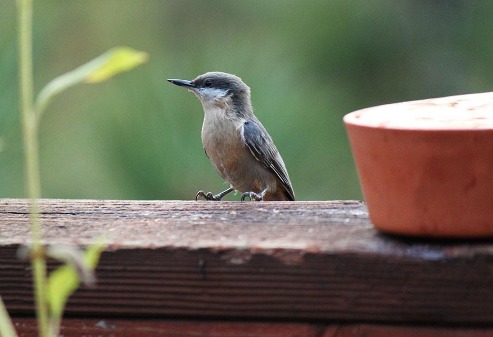 Pygmy Nuthatch Lake Tahoe Birds