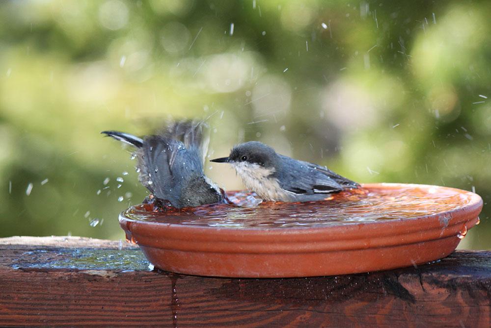 Pygmy Nuthatch Lake Tahoe birds bathing
