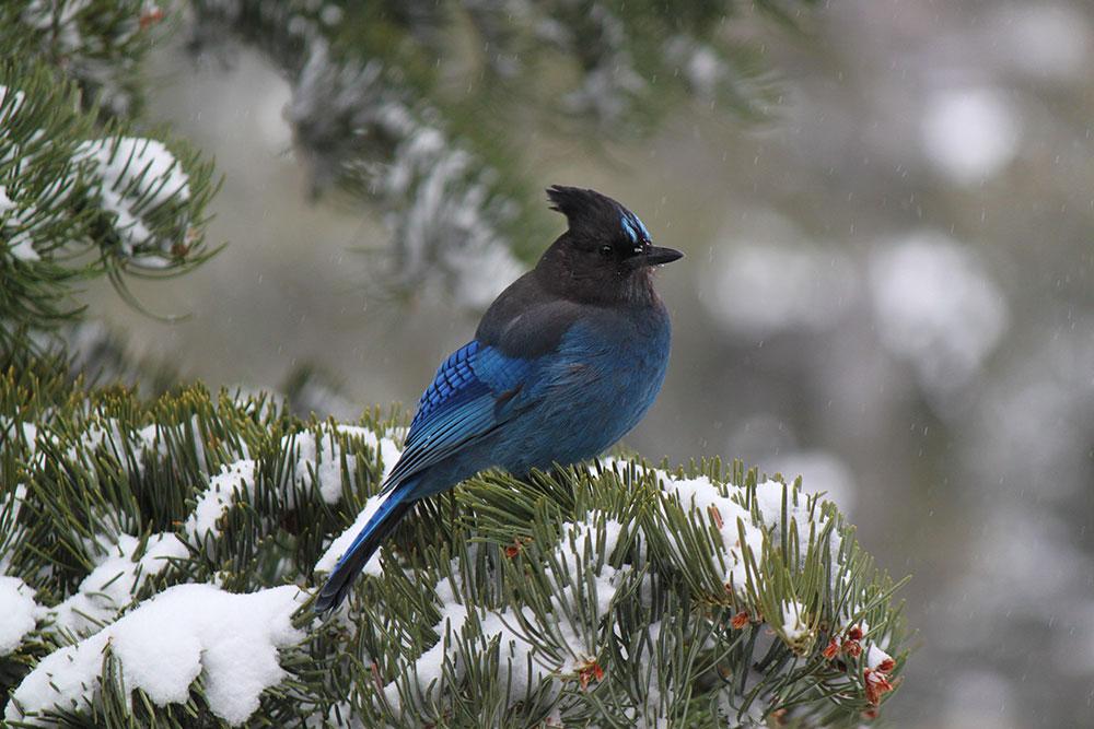 Stellars Jay in winter snow Lake Tahoe