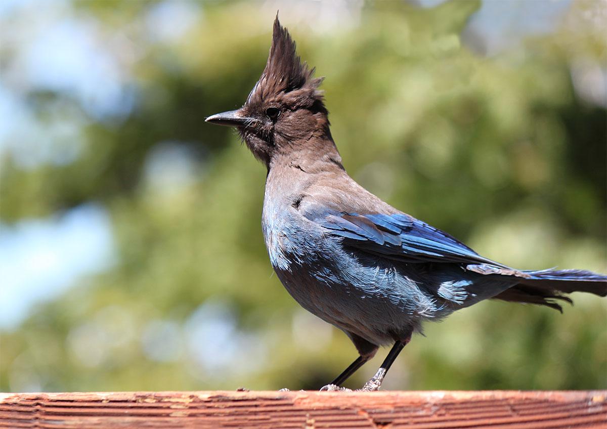 Stellars Jay Lake Tahoe bird photography by Crystal