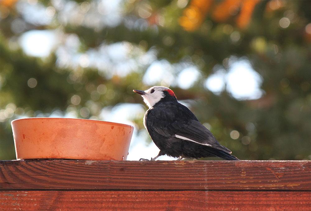 white headed woodpecker lake tahoe birds