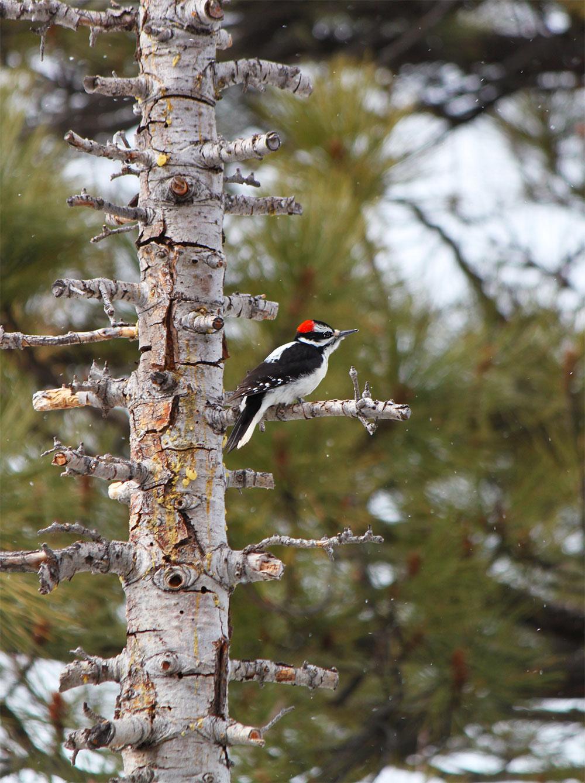 downy woodpecker by Crystal Ricotta