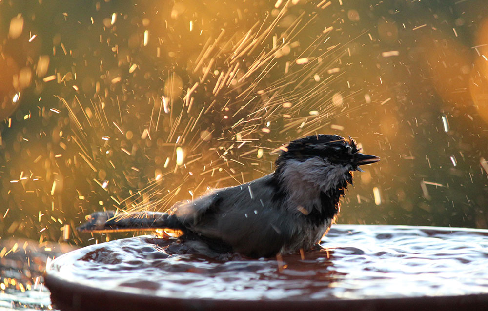 mountain chickadee bathing lake tahoe bird photo by Crystal Ricotta