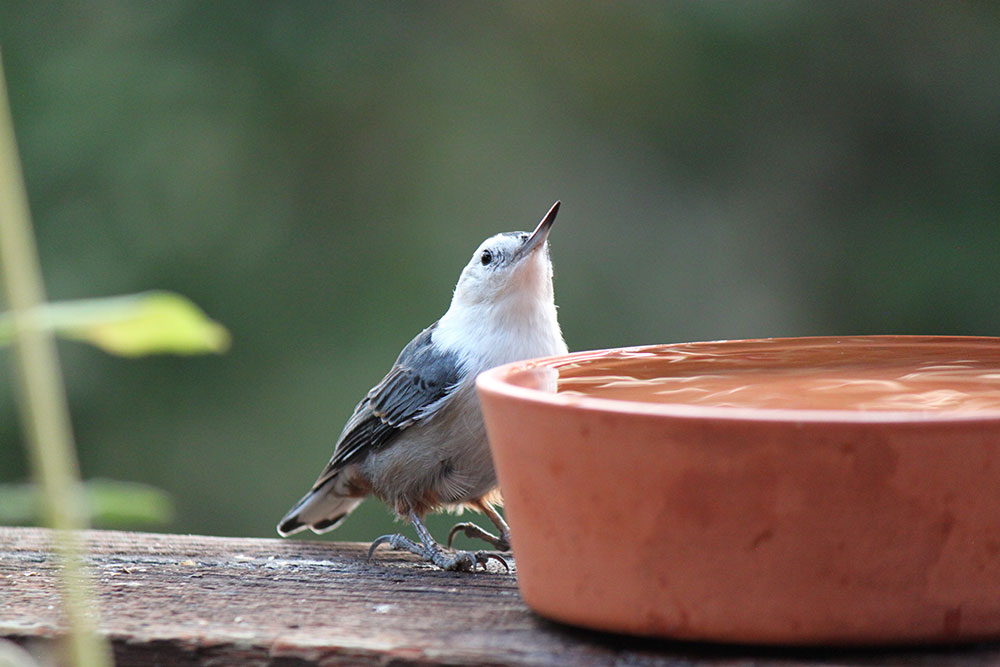 white-breasted nuthatch by Crystal Ricotta